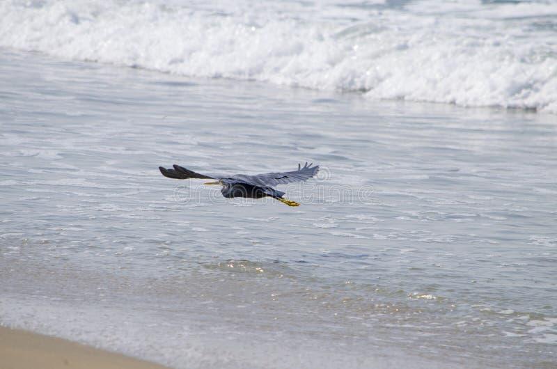 Airone grigio un uccello con un becco giallo al mare fotografia stock libera da diritti