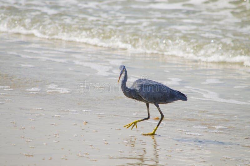 Airone grigio un uccello con un becco giallo al mare immagine stock libera da diritti