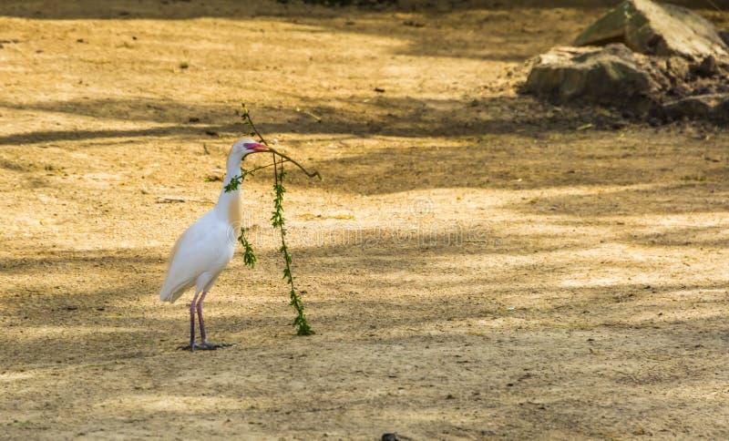 Airone guardabuoi che raccoglie i rami, airone che tiene un ramo, comportamento stagionale dell'uccello durante la molla fotografia stock libera da diritti