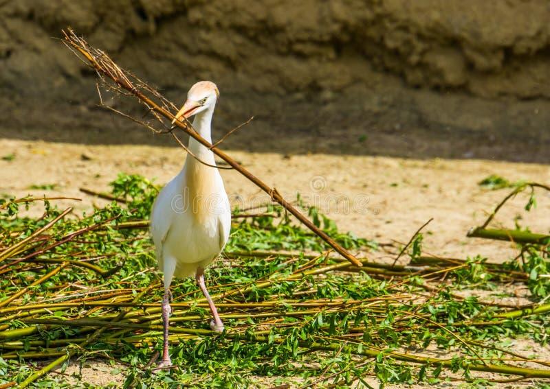 Airone guardabuoi che tiene un grande ramo di albero, uccello che raccoglie i rami, stagione riproduttiva dell'uccello in primave fotografie stock