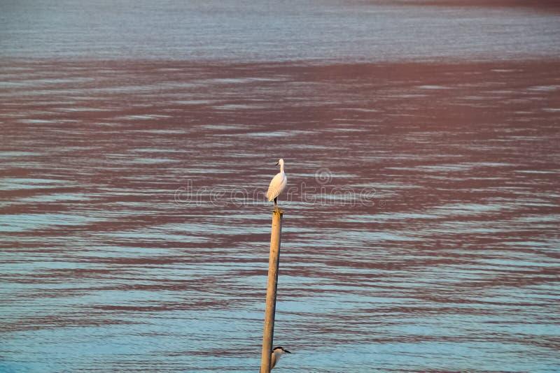 Airone guardabuoi e pertica incoronata nera della nicticora sulla posta nel mare della Galilea immagini stock