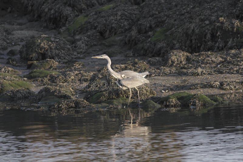Airone sulla sponda del fiume fotografie stock