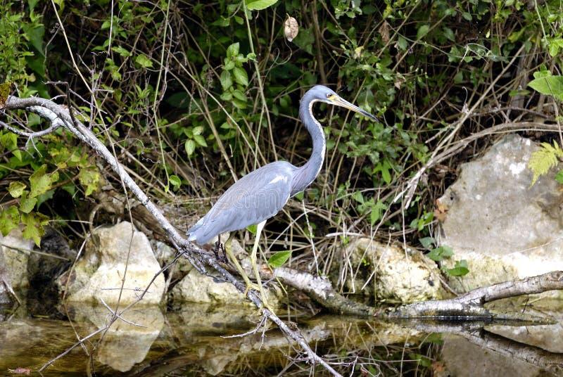 Airone, terreni paludosi, Florida fotografia stock libera da diritti