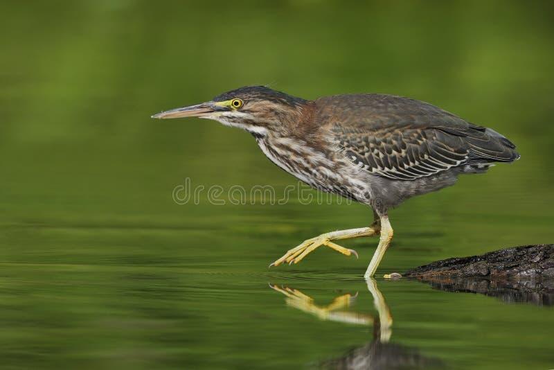 Airone verde giovanile che insegue la sua preda in un fiume basso immagini stock
