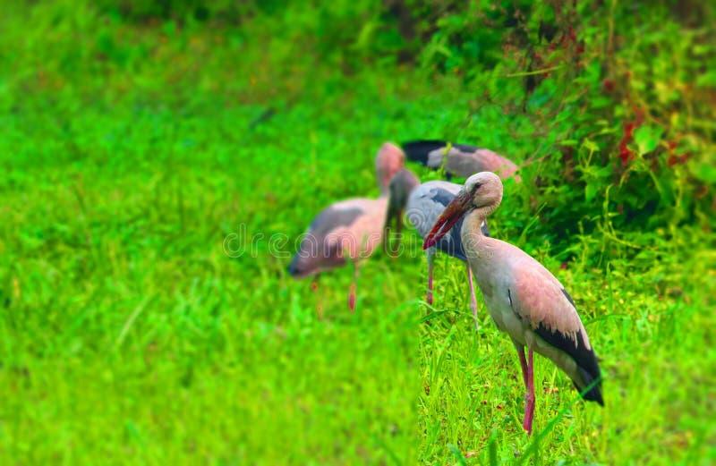 Aironi bianchi in Bangladesh vengono a visitare ogni anno qui come uccelli migratori dal cyberia fotografie stock