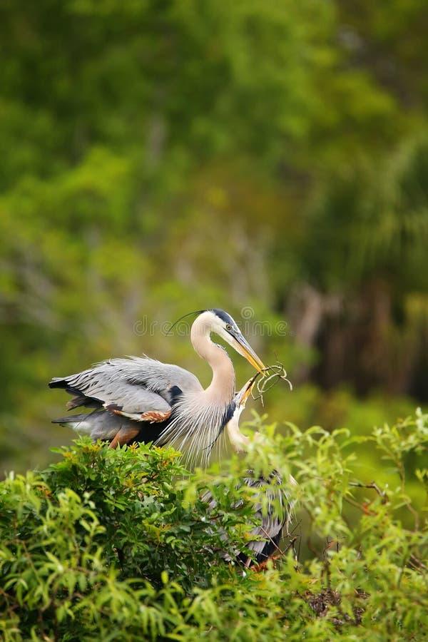 Aironi di grande blu che scambiano materiale per il nido È il più grande immagini stock libere da diritti