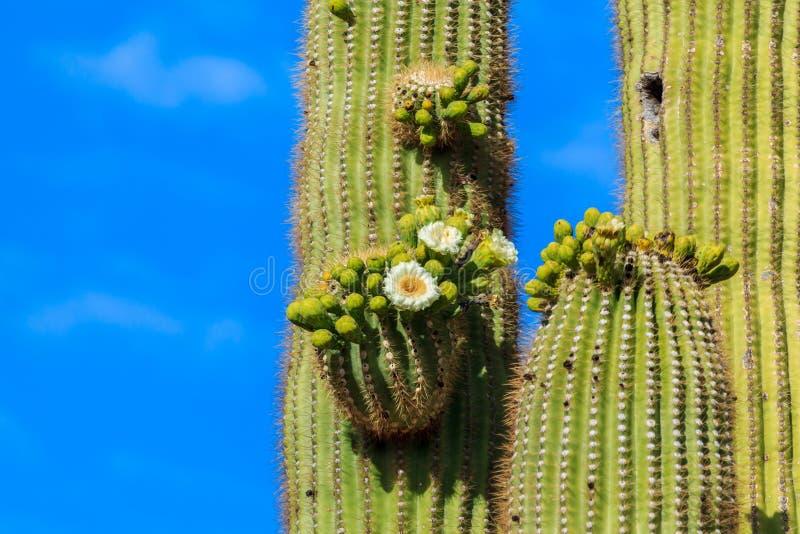 Airzonan-Saguaro-Kaktus in der Blüte stockbilder