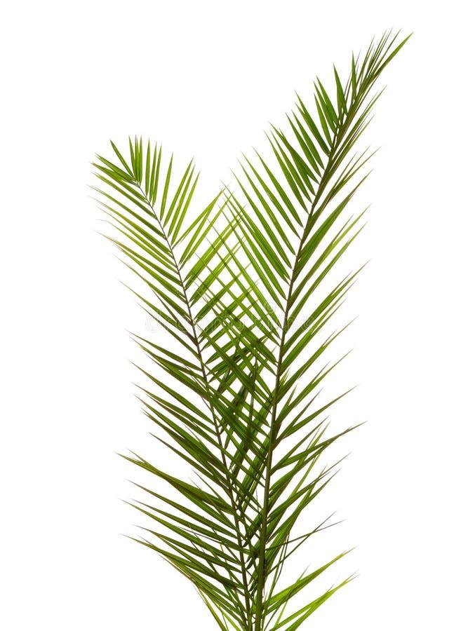 Aislado dos hojas de palma imágenes de archivo libres de regalías