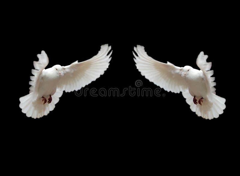Aislado dos palomas imagen de archivo libre de regalías