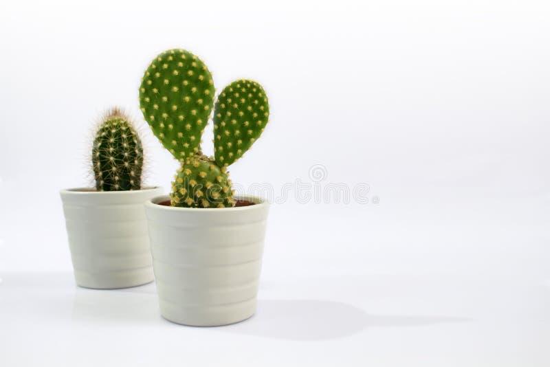 Aislado dos pequeñas plantas del cactus con el fondo blanco foto de archivo libre de regalías