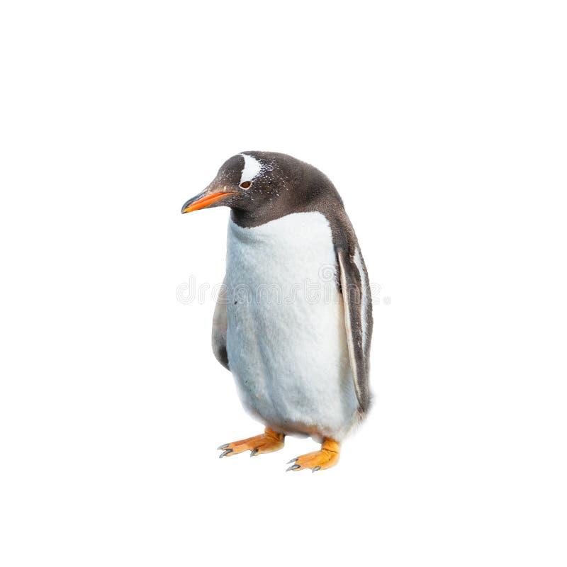 Aislado en el pingüino divertido del fondo blanco foto de archivo