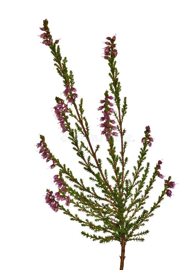 Aislado en la flor del brezo blanco foto de archivo libre de regalías