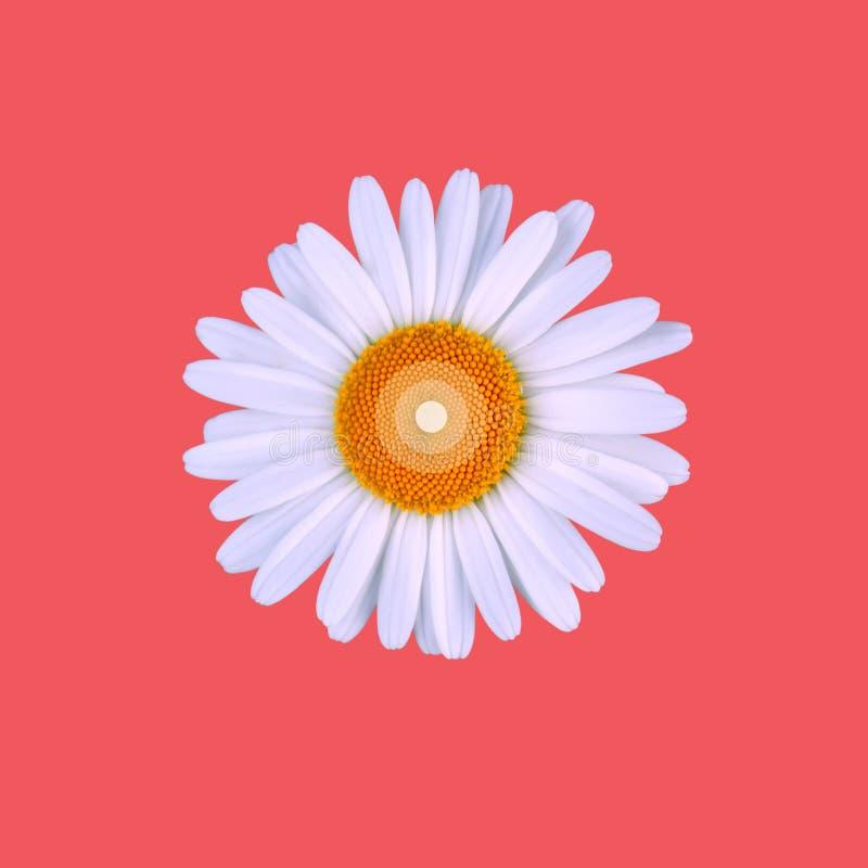 Aislado una manzanilla encima de un fondo coralino del color imagen de archivo libre de regalías