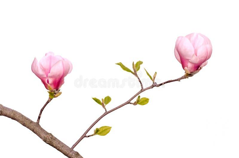 Aislamiento de la magnolia del árbol de la flor imagen de archivo