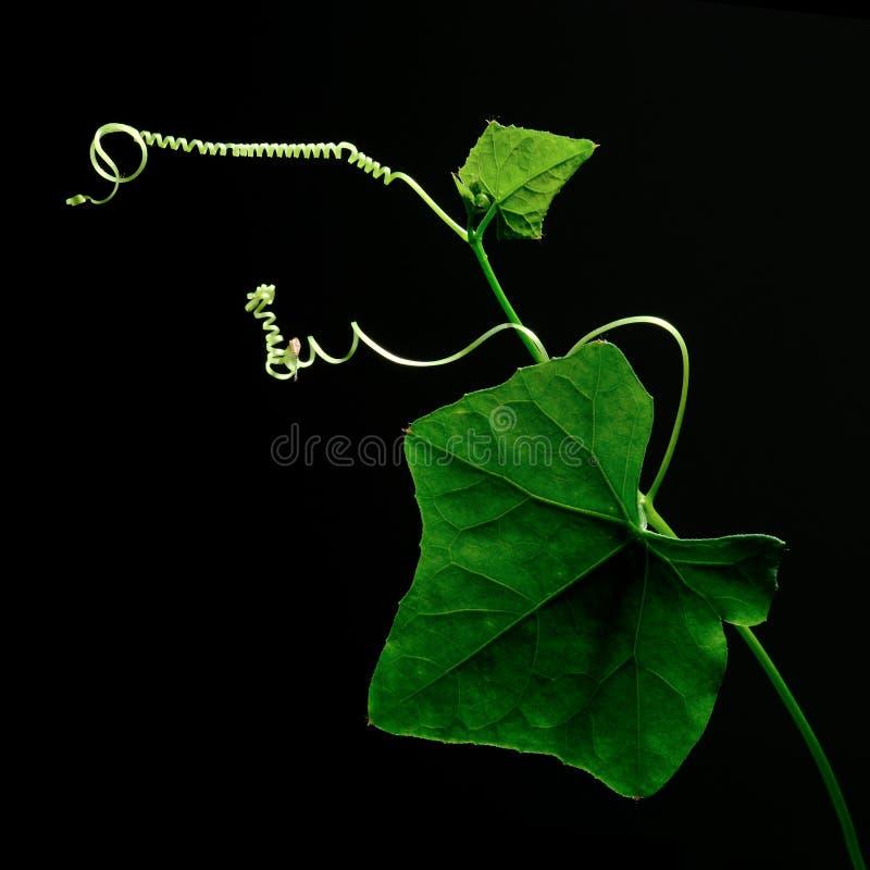 Aislante de la calabaza de la hiedra (verdura) en fondo negro fotografía de archivo libre de regalías