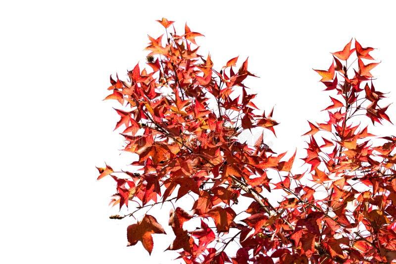 Aislante de la hoja de arce y de la rama del rojo anaranjado en el fondo blanco fotografía de archivo libre de regalías