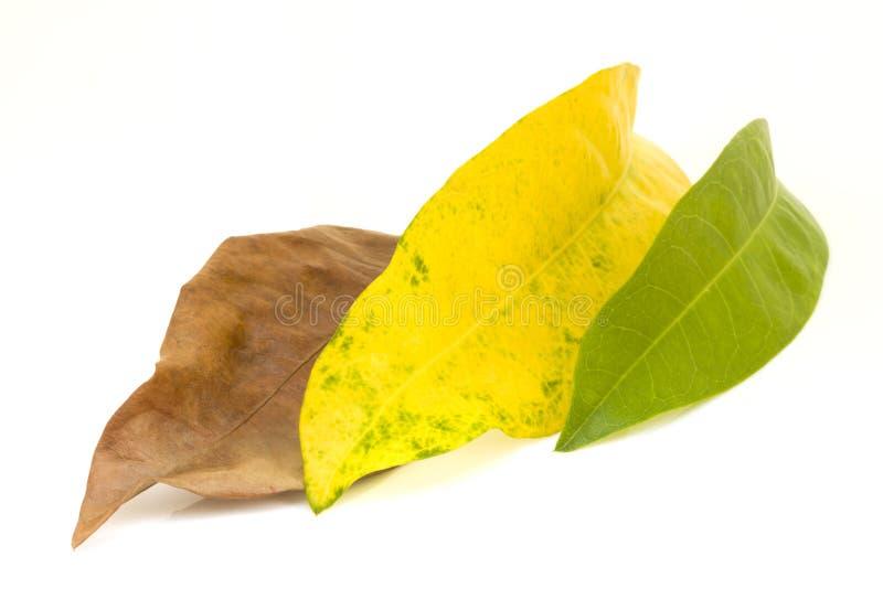 Aislante de las hojas de Brown y del amarillo y del verde en el fondo blanco foto de archivo
