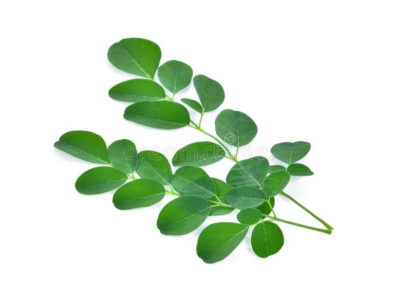 Aislante de las hojas de Moringa en el fondo blanco imagen de archivo libre de regalías