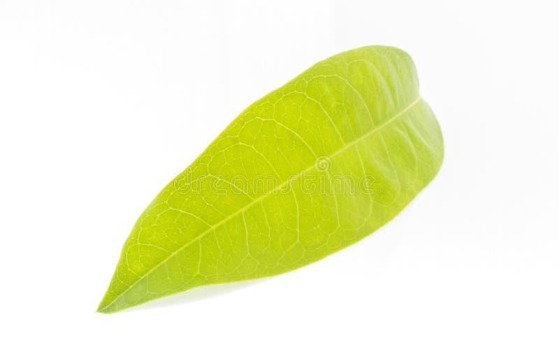 Aislante de las hojas del verde en el fondo blanco fotografía de archivo