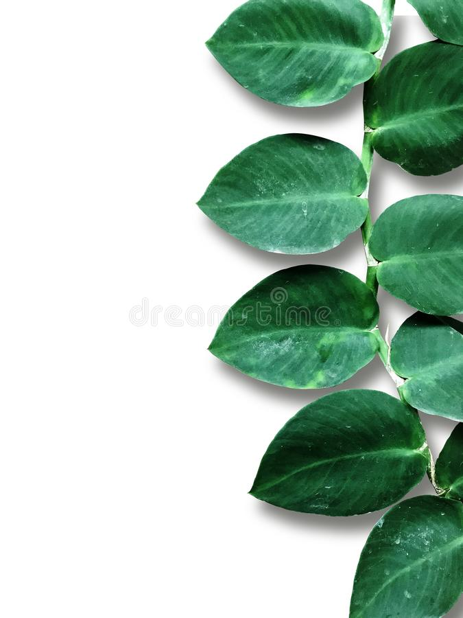Aislante de las hojas del verde en el fondo blanco Tarjeta creativa de la disposición fotografía de archivo