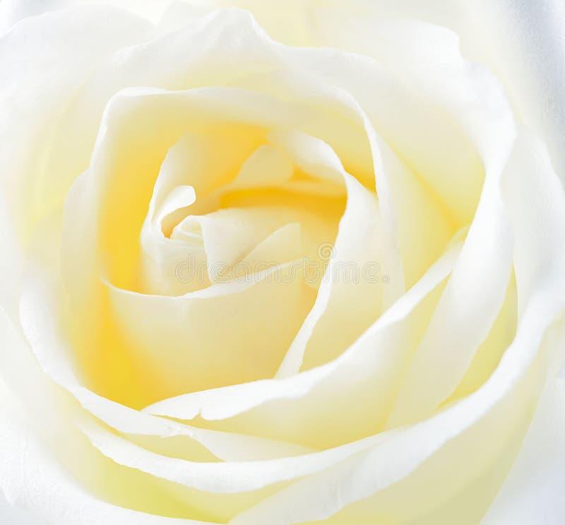 Aislante de Rose blanca en fondo imagen de archivo