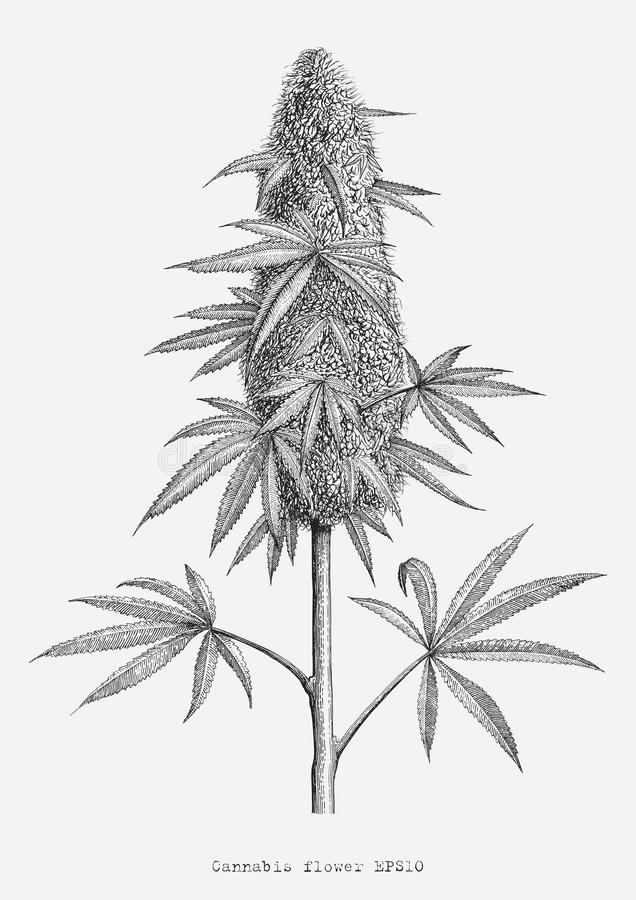 Aislante del estilo del grabado del vintage del dibujo de la mano de la flor del cáñamo encendido ilustración del vector
