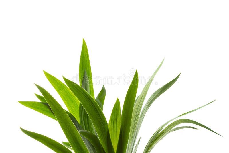 Aislante fresco de la hierba verde en el fondo blanco foto de archivo