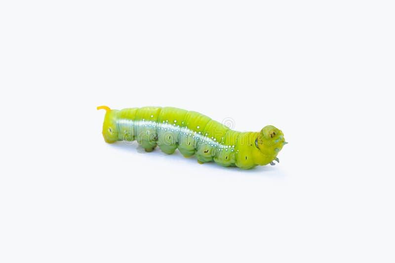 Aislante verde de los animales de las orugas del gusano en el fondo blanco fotografía de archivo libre de regalías