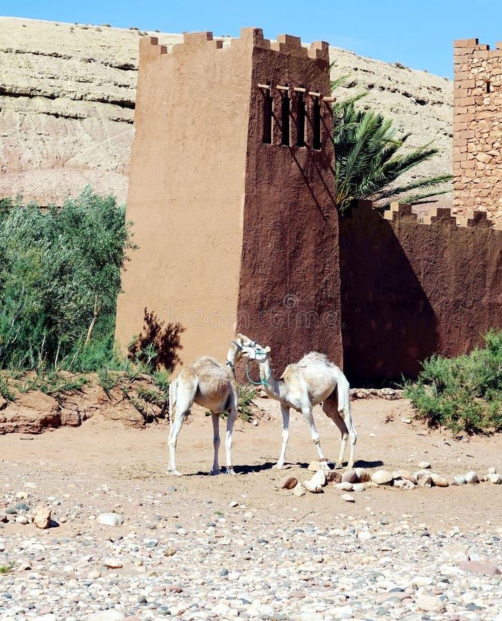 Ait Benhaddou och dromedar, Marocko, Afrika arkivbilder