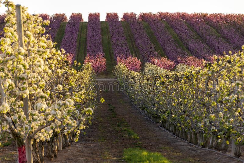 Aitona landscape at sunset. Field with peach tree rows and pear trees in bloom. Pink and white flowers. Natural background. Hanami royalty free stock photo