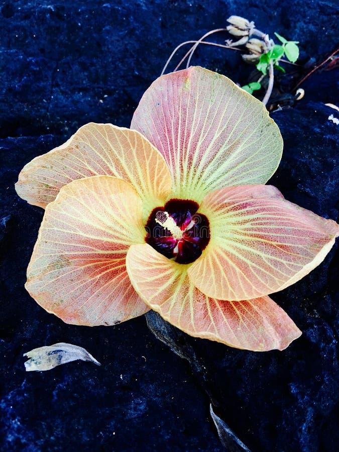 Aitutaki hibiscus royalty free stock photo