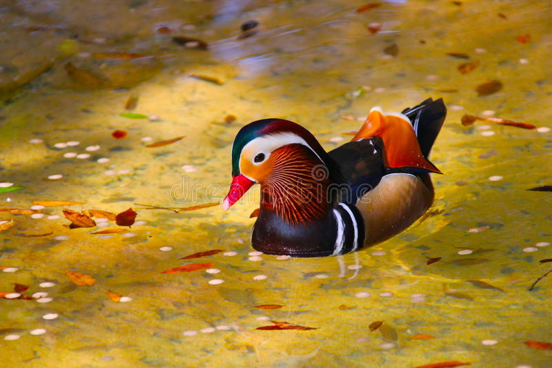 Aix Galericulata. Commonly known as the Mandarin dock. The most colorful of the duck family. Family: Anatidae , Order: Anseriformes, Class: Aves royalty free stock images