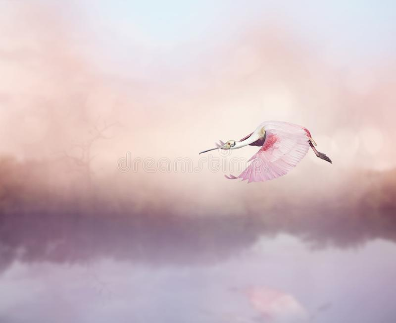 Ajaja del Platalea del Spoonbill rosado en vuelo imagen de archivo libre de regalías