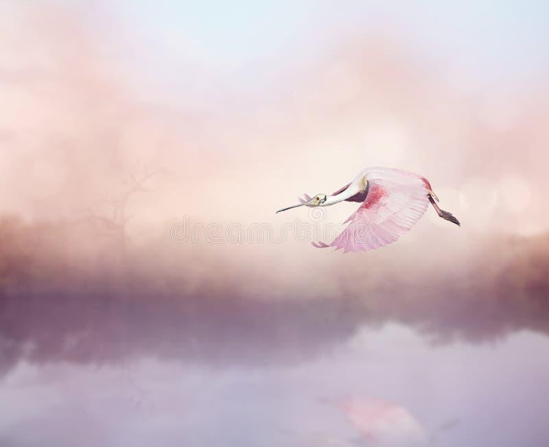 Ajaja do Platalea do Spoonbill róseo em voo imagem de stock royalty free