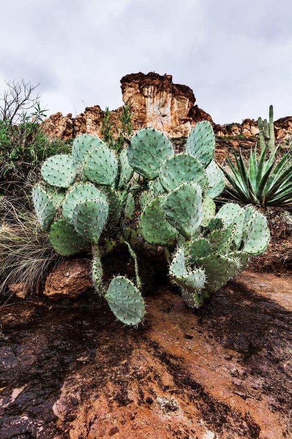 Ajardine com o cacto de pera espinhosa no deserto do Arizona, EUA imagens de stock