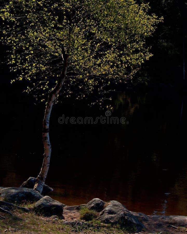 Ajardine com um vidoeiro na costa do lago fotografia de stock royalty free