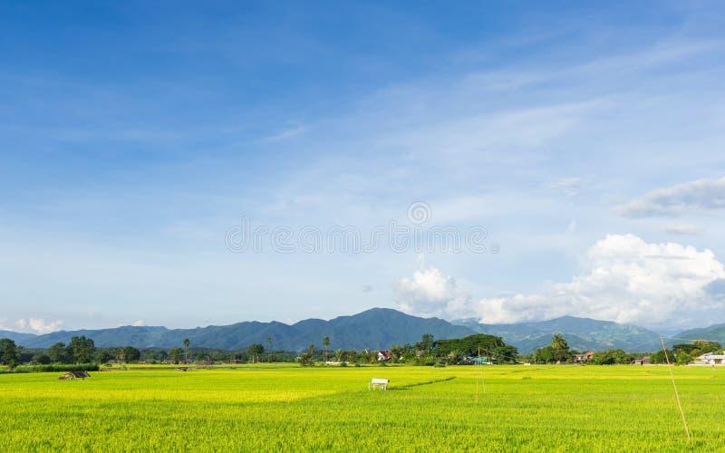 Ajardine con arroz de arroz y el cielo azul del claro fotografía de archivo libre de regalías
