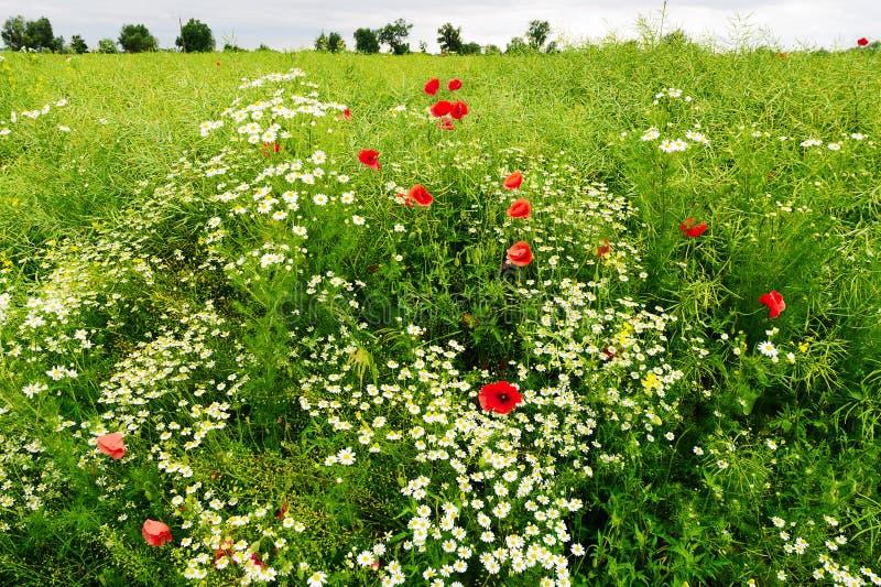 Ajardine con el crecimiento de flores rojo del Papaver y de la manzanilla de la amapola de maíz en prado colorido en campo Campo  fotografía de archivo libre de regalías