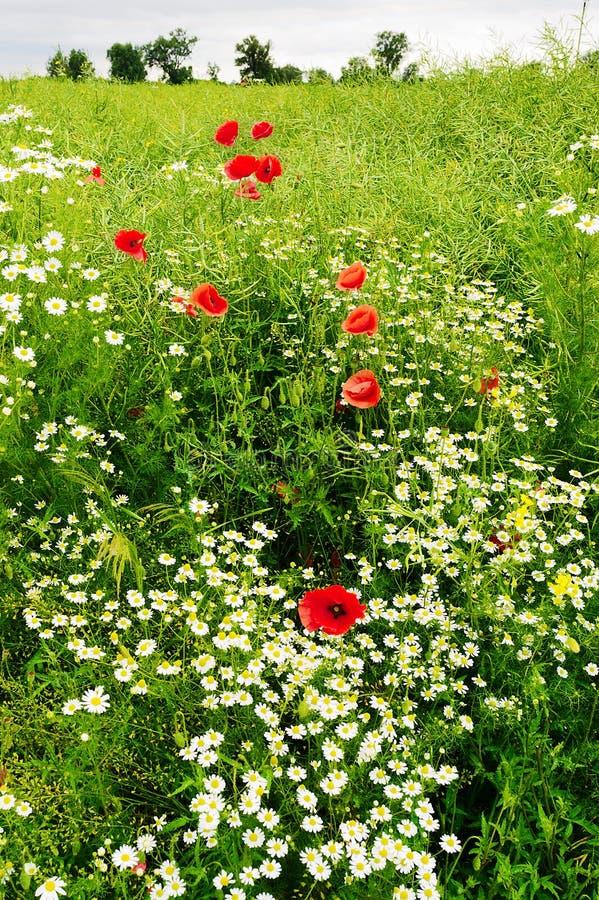 Ajardine con el crecimiento de flores rojo del Papaver y de la manzanilla de la amapola de maíz en prado colorido en campo Campo  imagenes de archivo