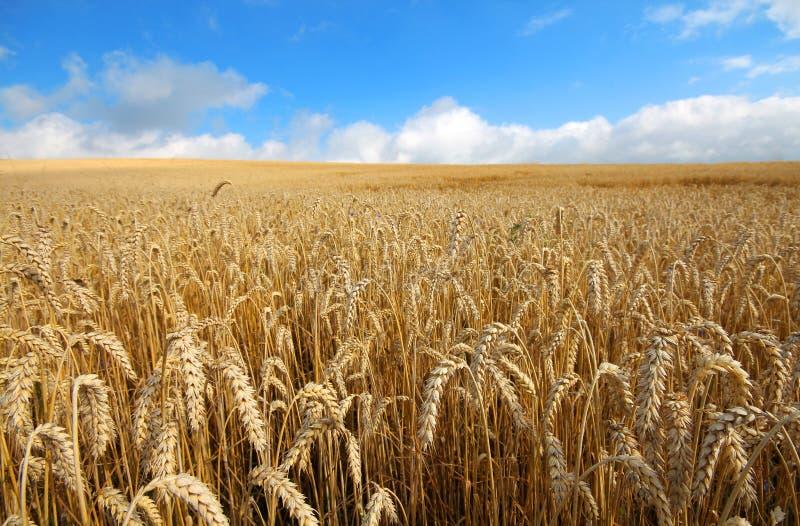Ajardine con las cosechas amarillas coloreadas calientes del trigo el día soleado en tierras de labrantío rurales imagen de archivo libre de regalías