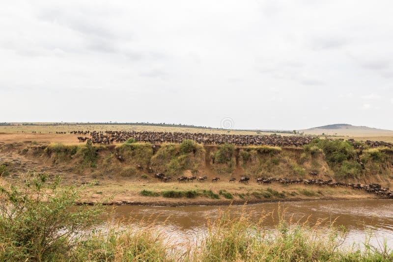 Ajardine en Mara River con las manadas grandes del ñu Kenia foto de archivo