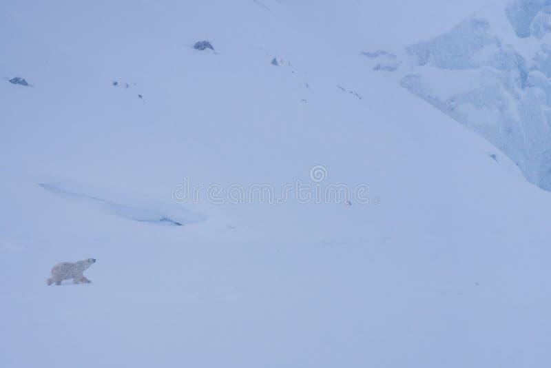 Ajardine a geleira do urso branco da natureza em uma banquisa de gelo do dia polar da luz do sol do inverno ártico de Spitsbergen fotos de stock royalty free