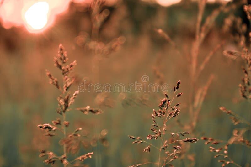 Ajardine la estación, puesta del sol del verano, hierba del sol, foto de archivo libre de regalías