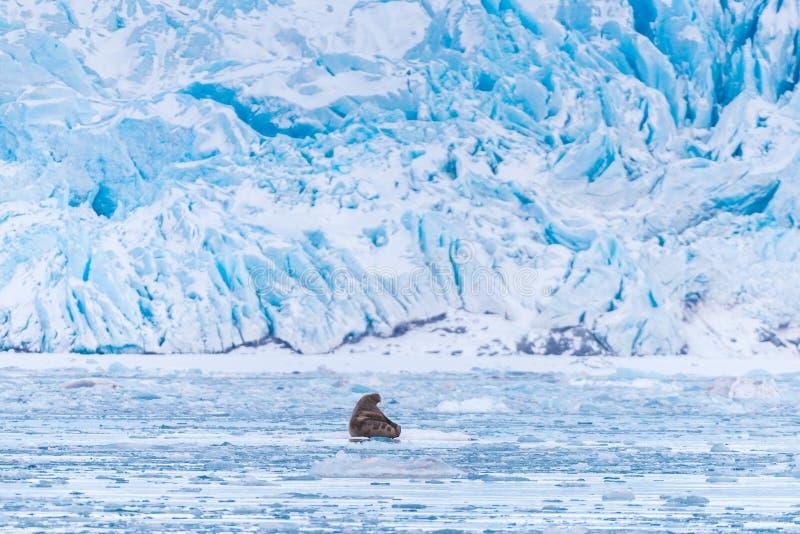 Ajardine la morsa de la naturaleza en una masa de hielo flotante de hielo del día ártico de la sol del invierno de Spitsbergen Lo imagen de archivo
