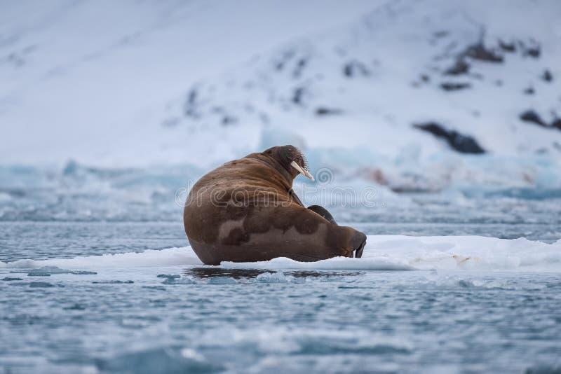 Ajardine la morsa de la naturaleza en una masa de hielo flotante de hielo del día ártico de la sol del invierno de Spitsbergen Lo foto de archivo libre de regalías