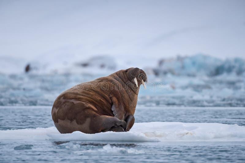 Ajardine la morsa de la naturaleza en una masa de hielo flotante de hielo del día ártico de la sol del invierno de Spitsbergen Lo imagen de archivo libre de regalías