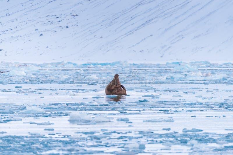 Ajardine la morsa de la naturaleza en una masa de hielo flotante de hielo del día ártico de la sol del invierno de Spitsbergen Lo foto de archivo