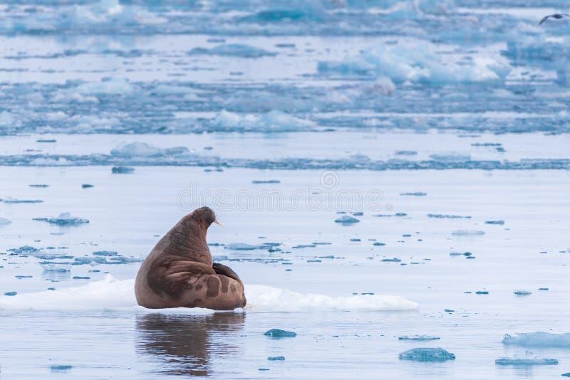 Ajardine la morsa de la naturaleza en una masa de hielo flotante de hielo del día ártico de la sol del invierno de Spitsbergen Lo fotografía de archivo