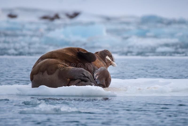 Ajardine la morsa de la naturaleza en una masa de hielo flotante de hielo del día ártico de la sol del invierno de Spitsbergen Lo imagenes de archivo
