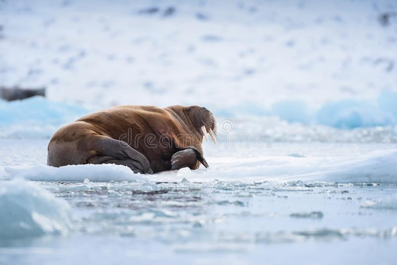 Ajardine la morsa de la naturaleza en una masa de hielo flotante de hielo del día ártico de la sol del invierno de Spitsbergen Lo fotografía de archivo libre de regalías